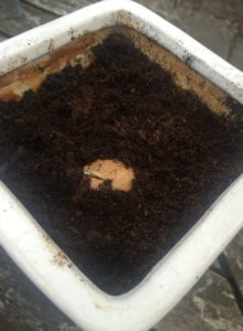 Avocadostenen er nu plantet