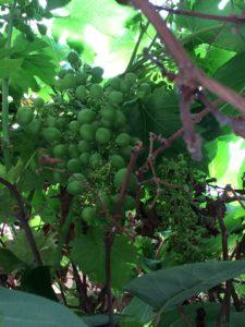 Mine druer sidste sommer