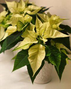 Kristina Sindberg - blog - Love2Live - Julestjerner - 3 giftige planter til jul