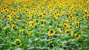 sommer -blomster - tørrede blomster - evighedsbuket - livsstil - interiør - Fynske Influencers - kristina sindberg - bloggerliv - love2live - solsikker
